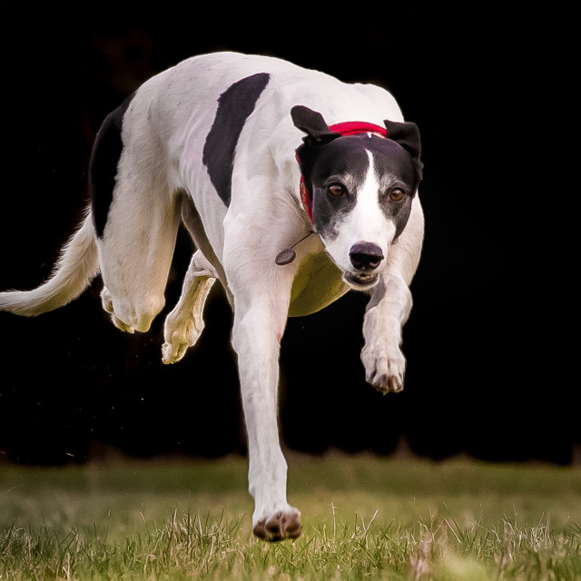 """Greyhound running towards camera"" stock image"