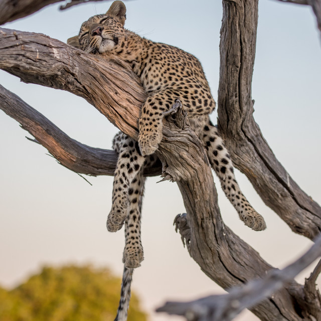"""Sleeping leopard"" stock image"