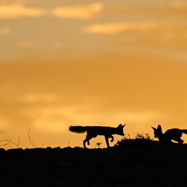 """Cape foxes silhouetted at sunrise"" stock image"