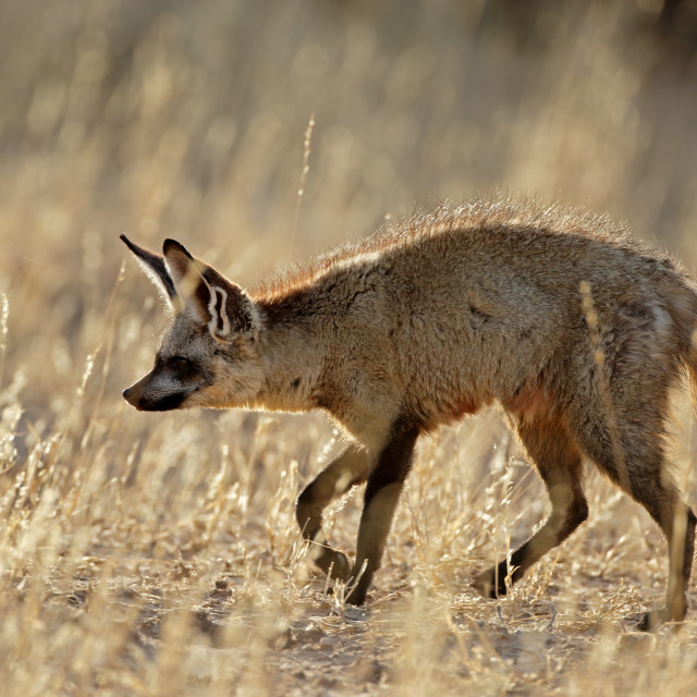 """Bat-eared fox in natural habitat"" stock image"