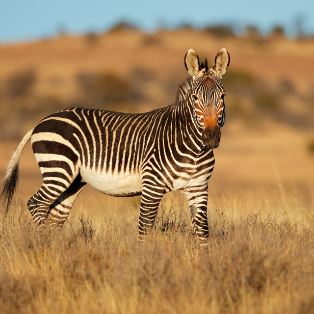 """Cape mountain zebra in natural habitat"" stock image"
