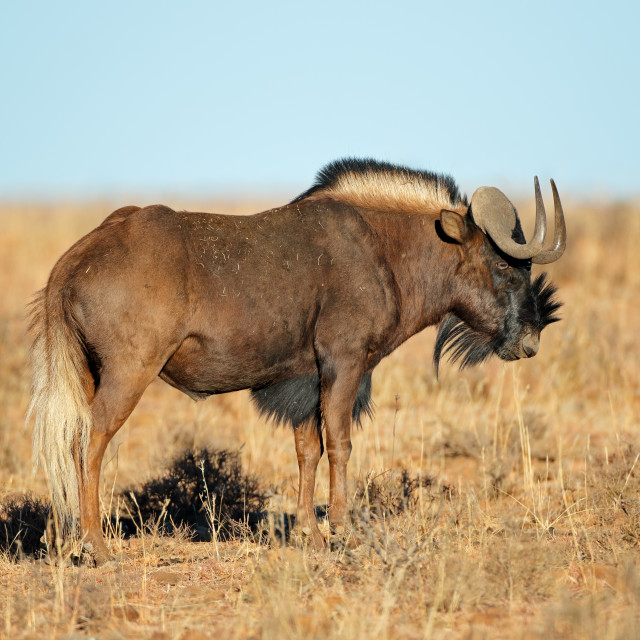 """Black wildebeest in grassland"" stock image"