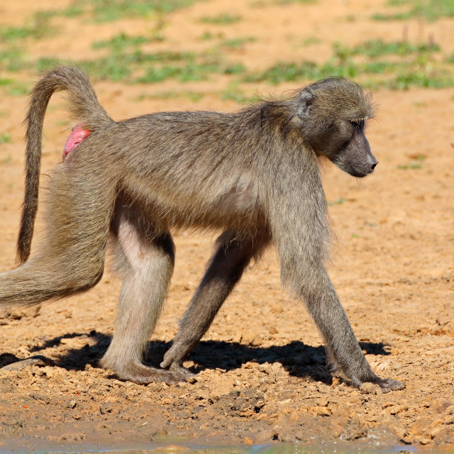 """Chacma baboon in natural habitat"" stock image"