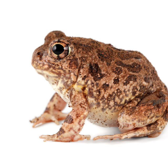 """Sand frog on white"" stock image"