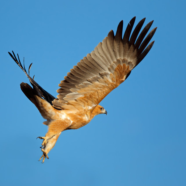 """Tawny eagle in flight with open wings"" stock image"