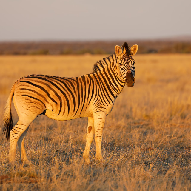 """Plains zebra in late afternoon light"" stock image"