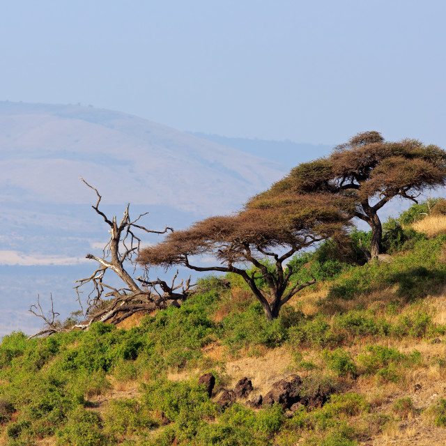 """Landscape with African thorn-trees - Amboseli"" stock image"