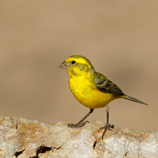 """Yellow canary - South Africa"" stock image"