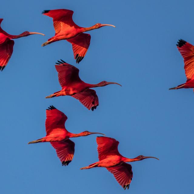 """""""scarlet ibis"""" stock image"""