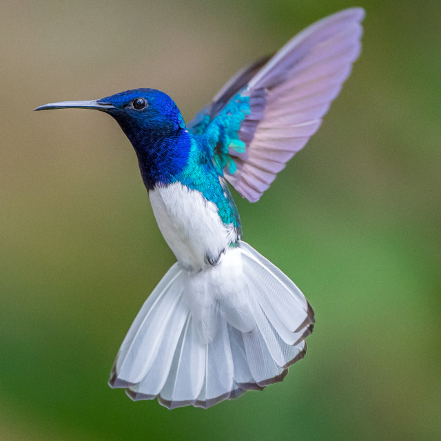 """white necked jacobin hummingbird"" stock image"