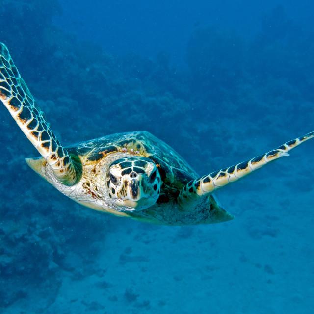 """hawksbill turtle towards the camera"" stock image"