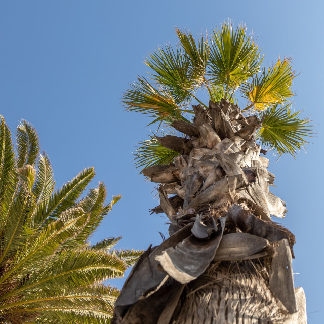 """""""Palm. Low angle view. Sunny day. Blue. Sky. Tree"""" stock image"""