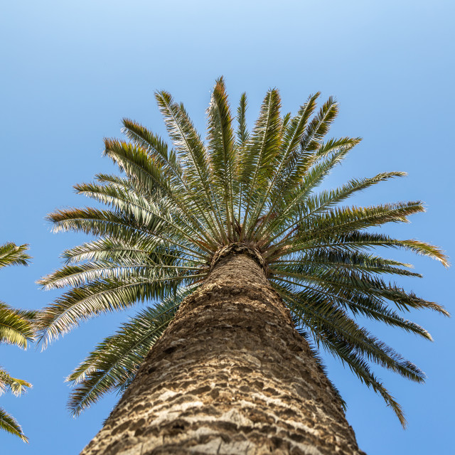 """""""Palm. Low angle view. Sunny day. Tree. Blue. Sky"""" stock image"""