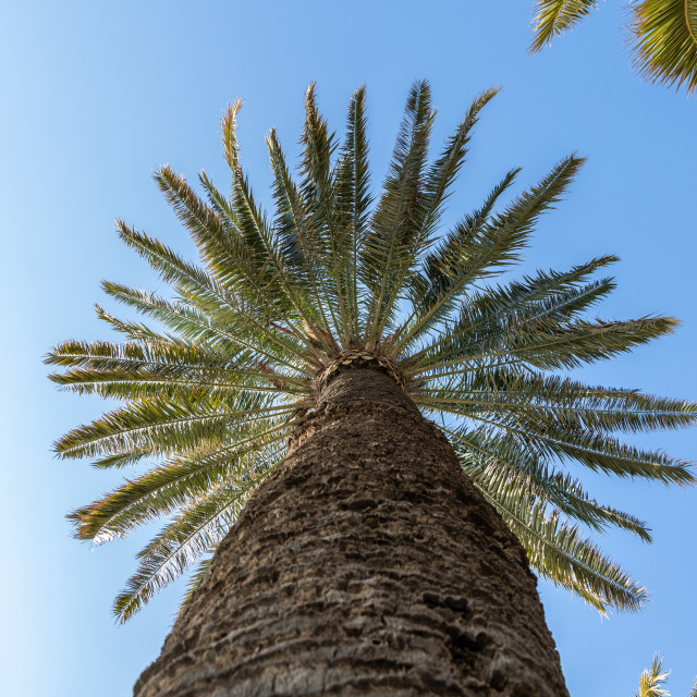 """""""Palm. Low angle view. Tree. Sunny day. Blue. Sky"""" stock image"""