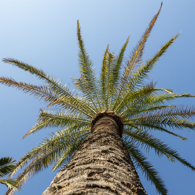 """""""Palm. Low angle view. Sunny day. Blue. Tree. Sky"""" stock image"""