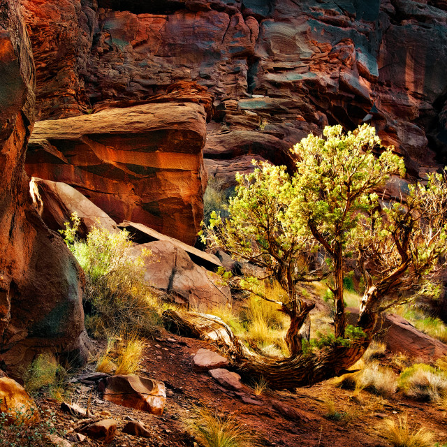 """""""Juniper in Red Rock Country"""" stock image"""