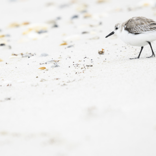 """A sanderling walking on a beach"" stock image"