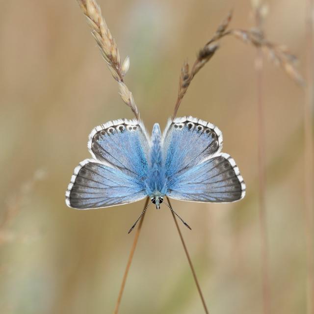 """""""Chalkhill Blue (Polyommatus coridon)."""" stock image"""