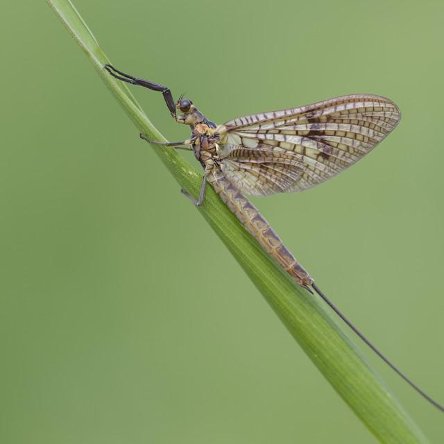 """""""Mayfly (Ephemera vulgata)."""" stock image"""