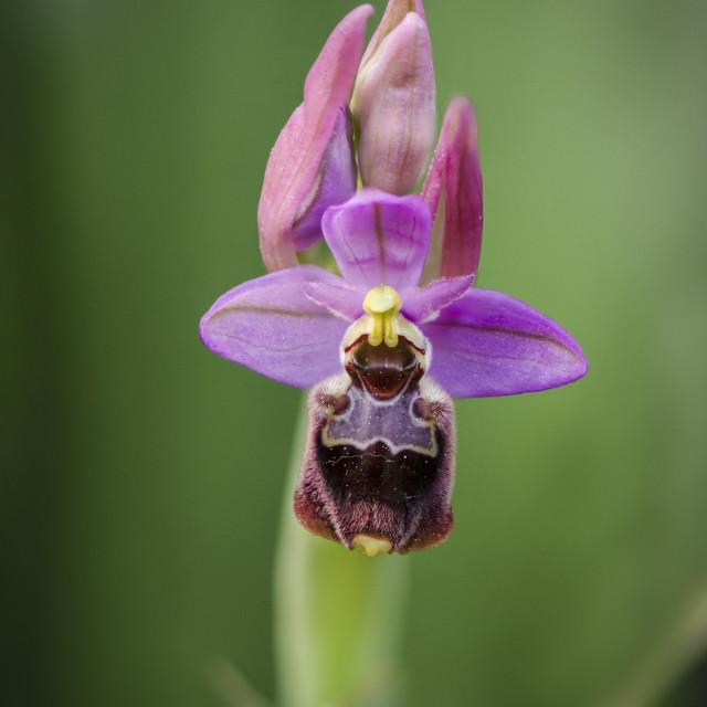 """Hybrid rare orchid Ophrys x peltieri"" stock image"