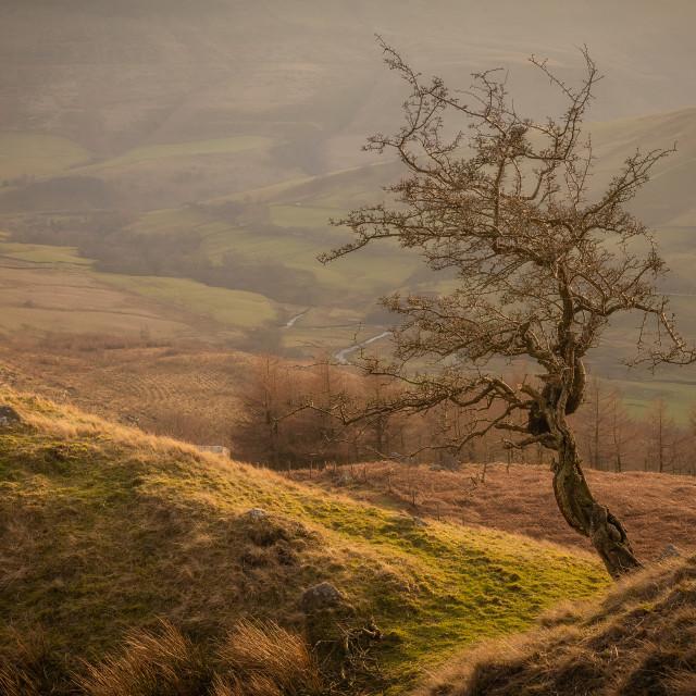 """Alport Valley Hawthorn"" stock image"