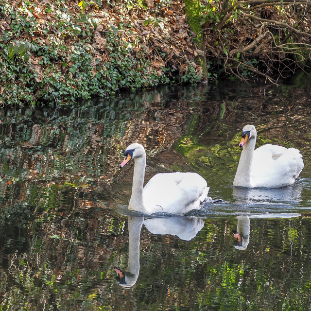 """Swans Neath Canal"" stock image"
