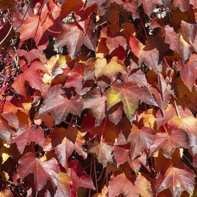 """""""foglie di vite del Canadà in autunno"""" stock image"""
