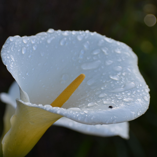 """Calla Lilly"" stock image"