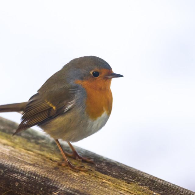 """First migratory European robin (Erithacus rubecula) bird in Riga, Latvia. 19 of February."" stock image"