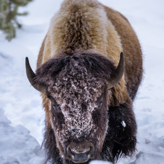 """Bison in the snow, Yellowstone National Park, Wyoming"" stock image"