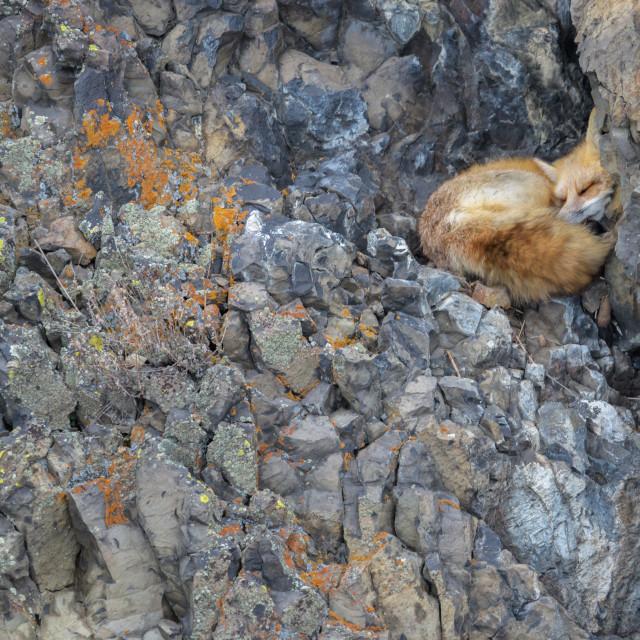 """Red fox sleeping"" stock image"
