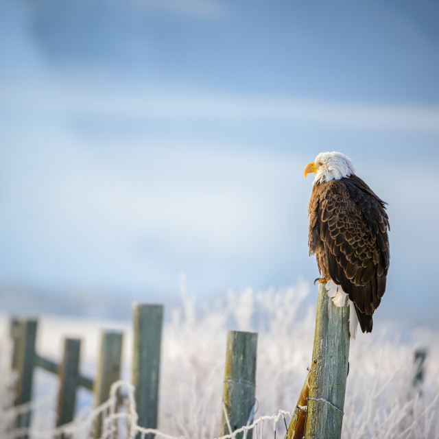 """Bald Eagle in Grand Teton National Park"" stock image"