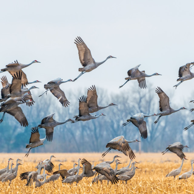 """Sandhill cranes, Nebraska"" stock image"