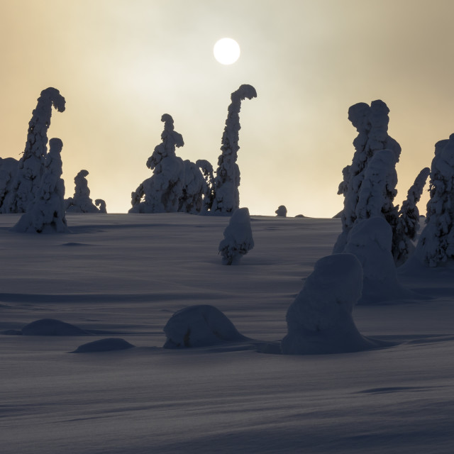 """Snow and ice covered trees in Lapland , Finland"" stock image"