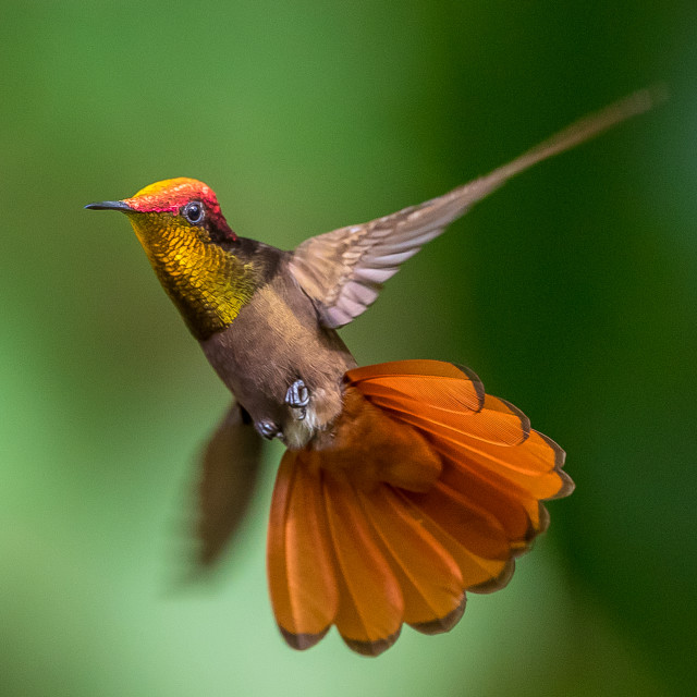 """Ruby topaz hummingbird"" stock image"