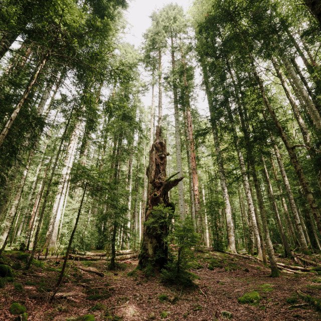 """""""Lost forest in the north of spain with an ancient dead tree"""" stock image"""