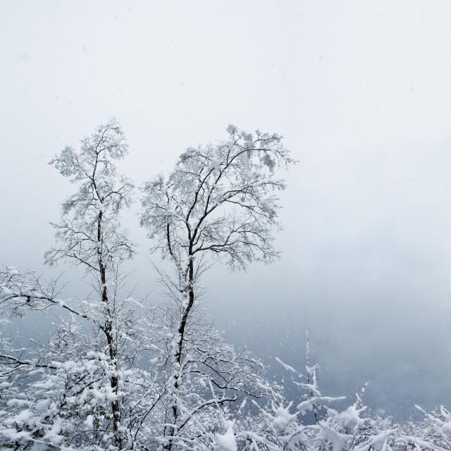 """""""alberi sotto la neve"""" stock image"""