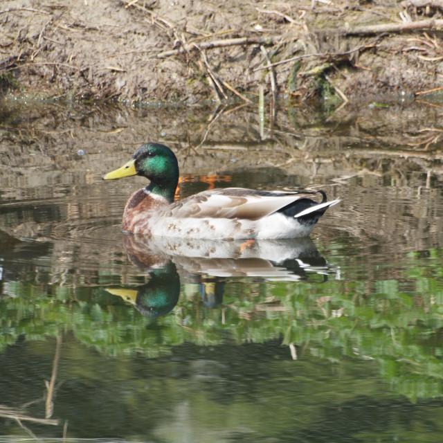 """Mallard on River Chelmer"" stock image"