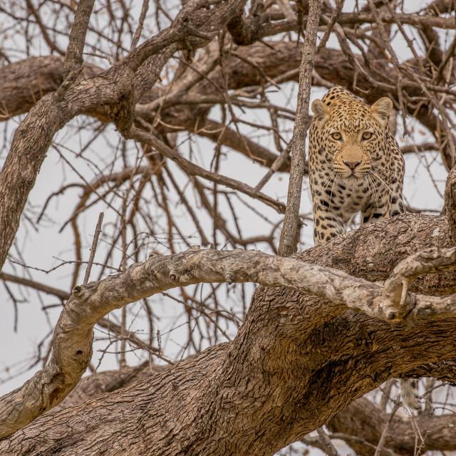 """leopard"" stock image"