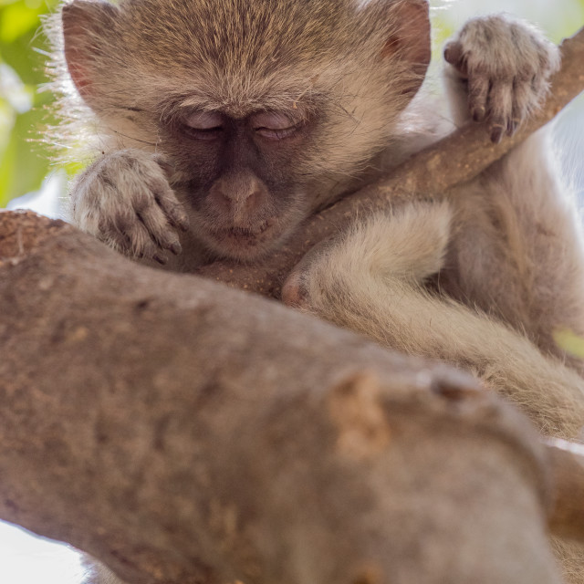 """vervet monkey"" stock image"