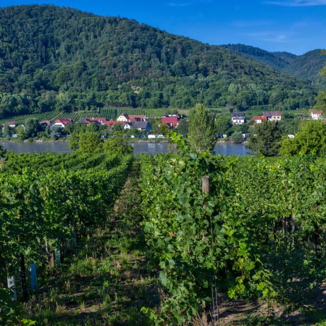 """""""Durnstein Vineyards"""" stock image"""