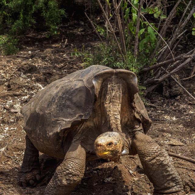 """""""Giant Tortoise Breeding Center at Charles Darwin Research Station, Puerto..."""" stock image"""