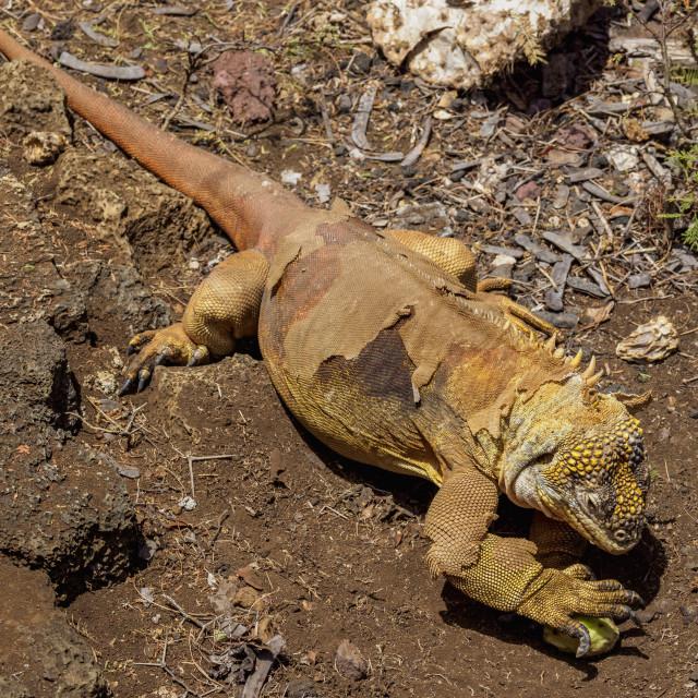 """Land Iguana at Charles Darwin Research Station, Puerto Ayora, Santa Cruz or..."" stock image"