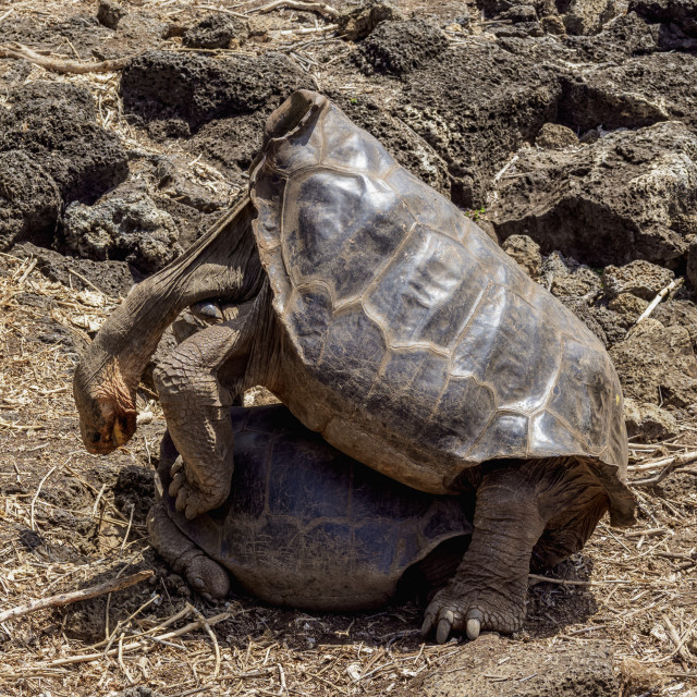 """""""Giant Tortoises Breeding Center at Charles Darwin Research Station, Puerto..."""" stock image"""
