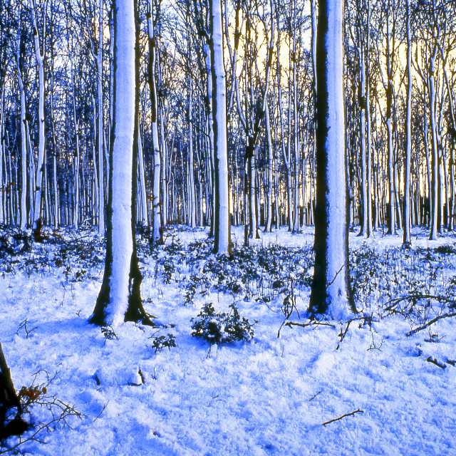 """""""Ashmore, Woodland in Snow"""" stock image"""