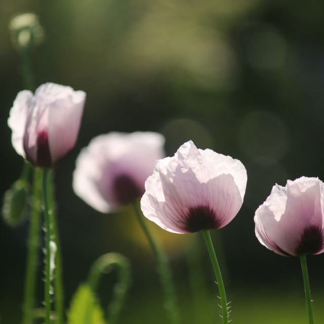 """""""Pink Poppies in Summer"""" stock image"""