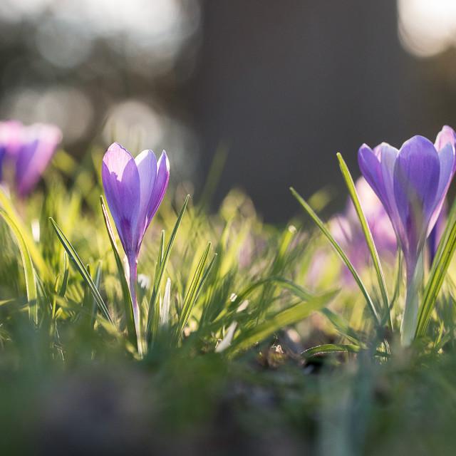 """""""Purple Crocuses"""" stock image"""