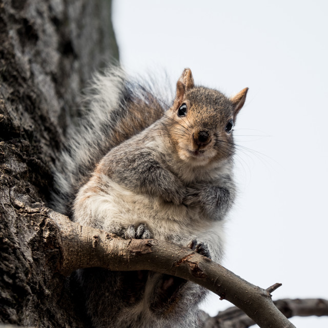 """""""Cute gray squirrel looking down"""" stock image"""