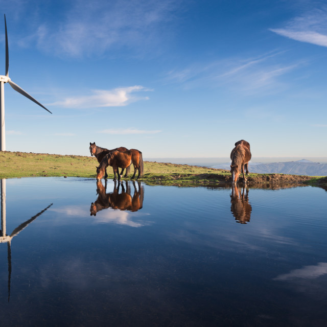 """""""Three horses drink in a pond"""" stock image"""