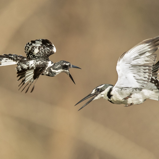 """Pied Kingfishers Fighting"" stock image"
